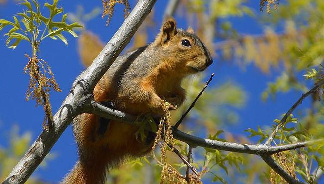 veverica-na-grani