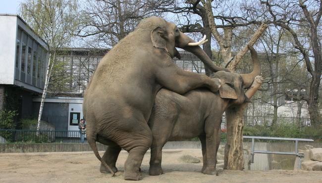 sex-slon