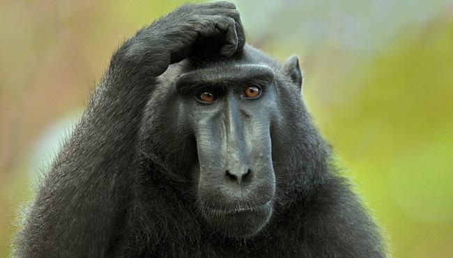 majmun-sumnja